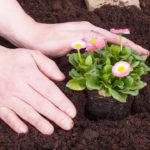 como plantar flores sobre la tierra (3)