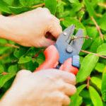 como podar una planta (3)