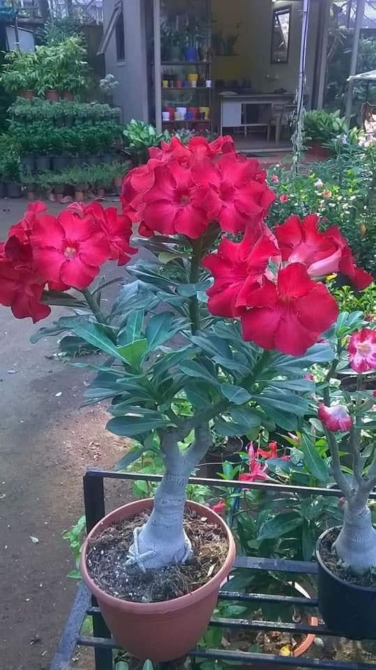 Tips para tener rosa del desierto en nuestros jardines