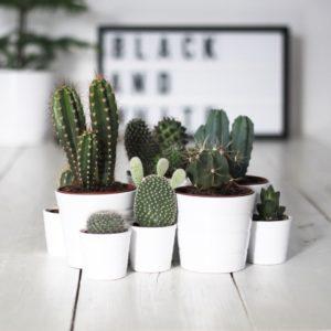 El cactus planta resistente para decorar tu casa