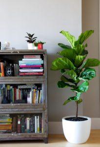 El ficus es una planta de moda para interiores