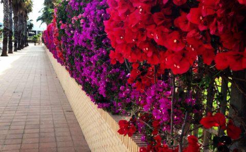 5 Enredaderas con una floración espectacular