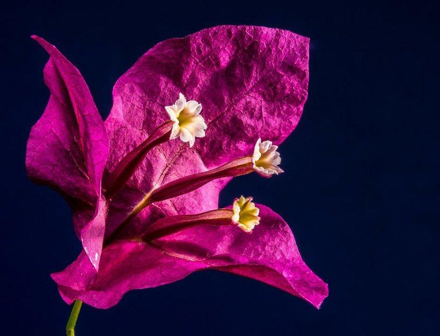 Enredaderas con una floración espectacular - Buganbilia