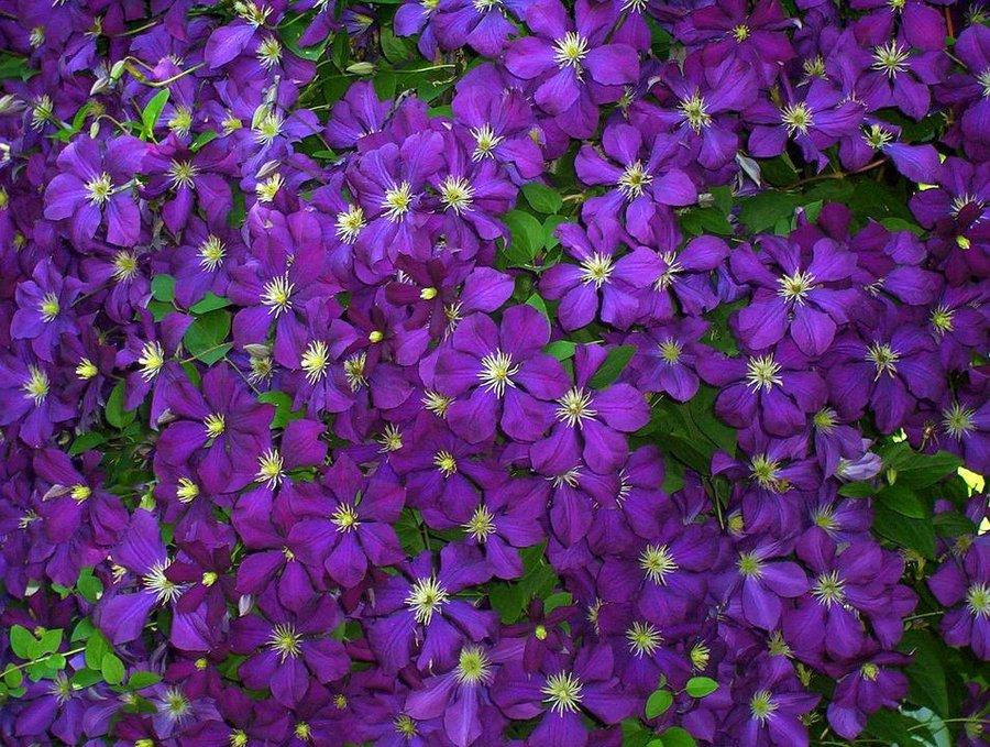 Enredaderas con una floración espectacular - Clematis