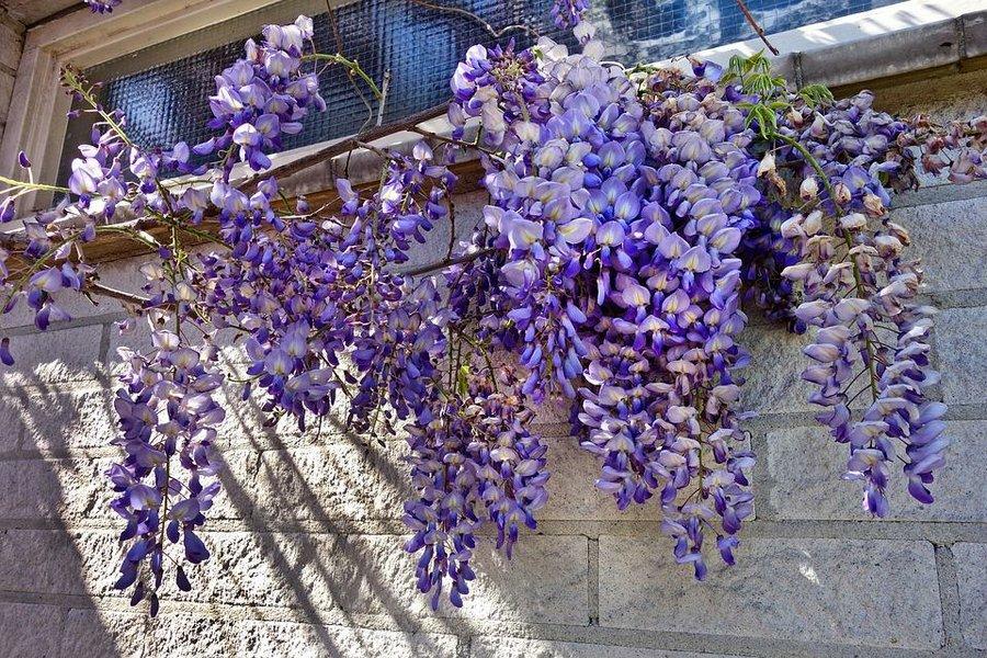 Enredaderas con una floración espectacular - Glicinia