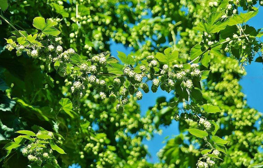 Enredaderas con una floración espectacular - Lúpulo
