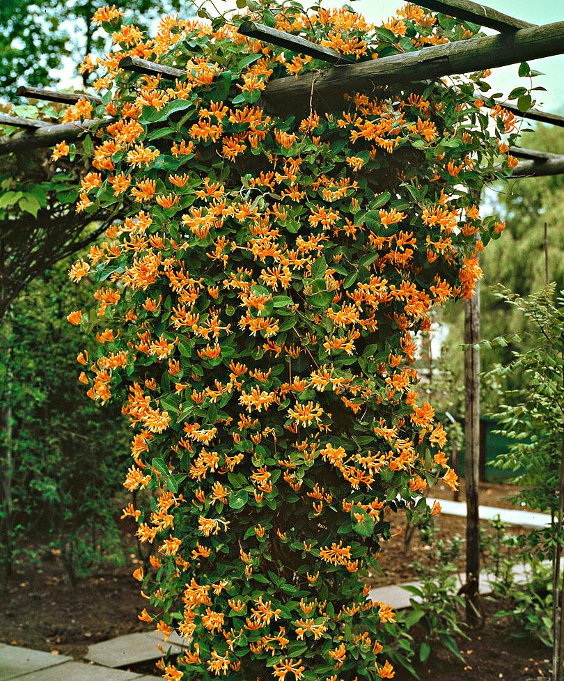 Enredaderas con una floración espectacular - Madreselva