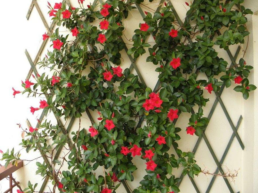 Enredaderas con una floración espectacular - Mandevilla