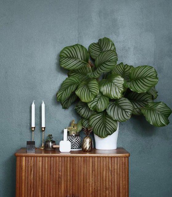Plantas para interior más resistentes y bonitas planta Calatea