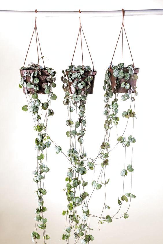 Plantas para interior más resistentes y bonitas planta Collar de Corazones
