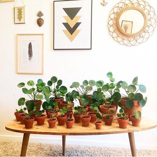 Plantas para interior más resistentes y bonitas planta Lefse