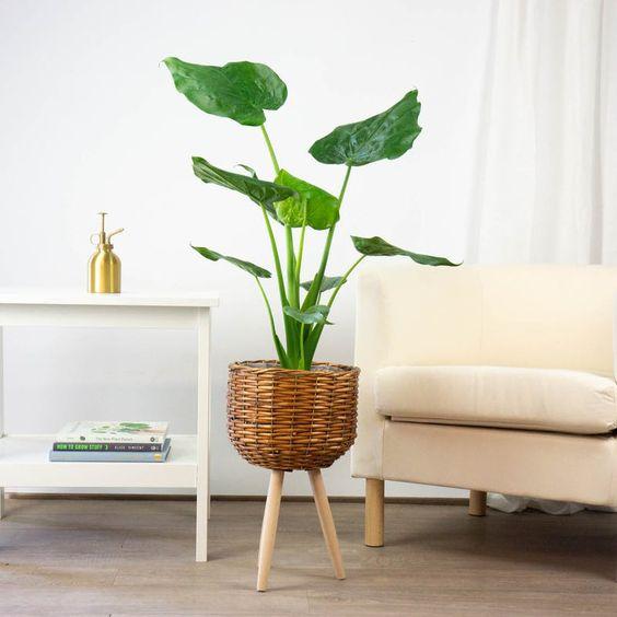 Plantas para interior más resistentes y bonitas planta Oreja de Elefante