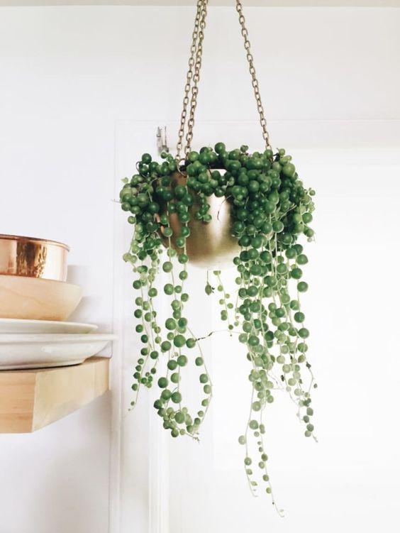 Plantas para interior más resistentes y bonitas planta Rosario