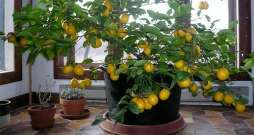Árbol de limón en casa