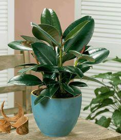 Beneficios y propiedades de la planta de hule