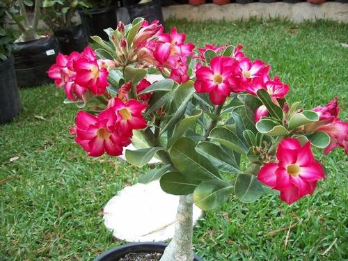 Características de riego para flor de desierto