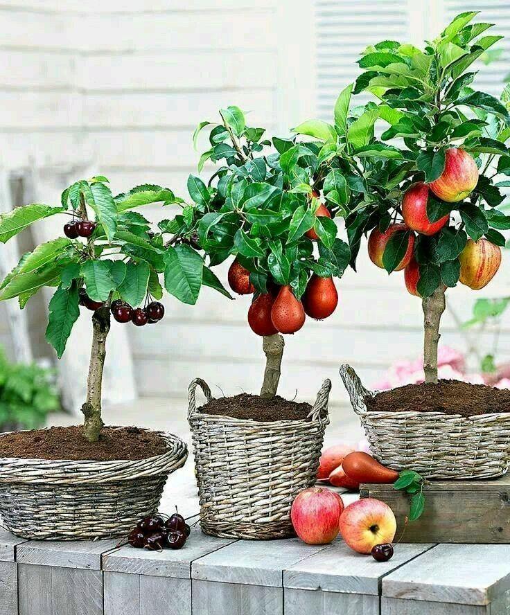 Como cultivar manzano en casa