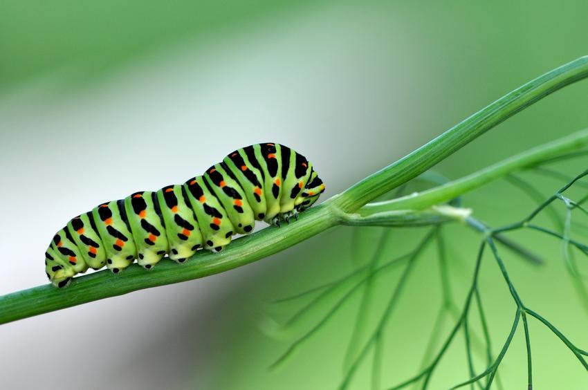 Como eliminar orugas de nuestras plantas