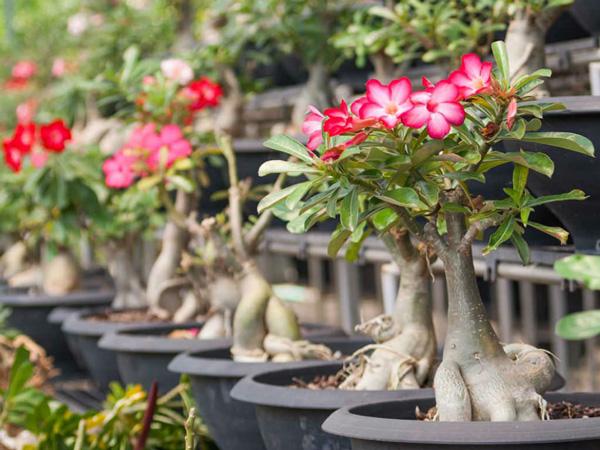 Consejos de cultivo de flor de desierto