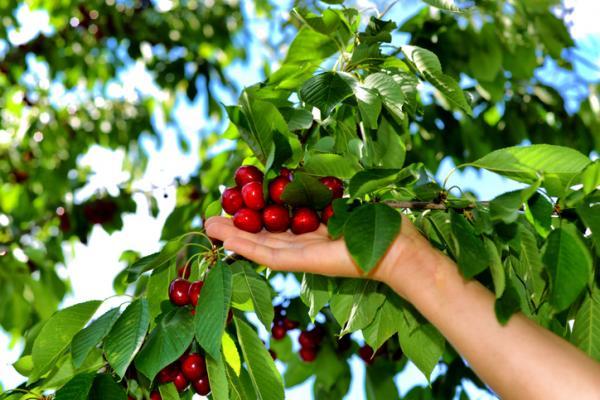 Como cultivar cerezas en casa