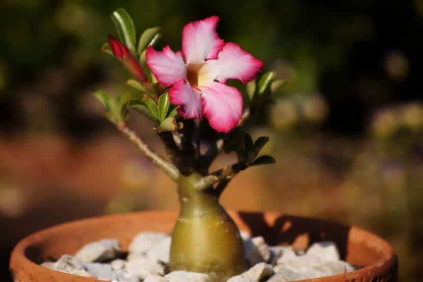 Iluminación adecuada para la flor de desierto