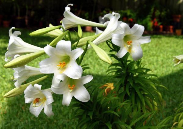 Lirios especiosum var. rubrum