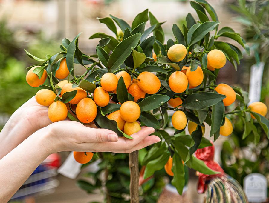 Naranjo en casas pequeñas