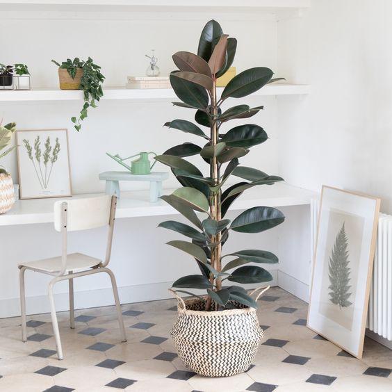 Planta de hule