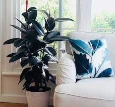 Planta de hule para interiores
