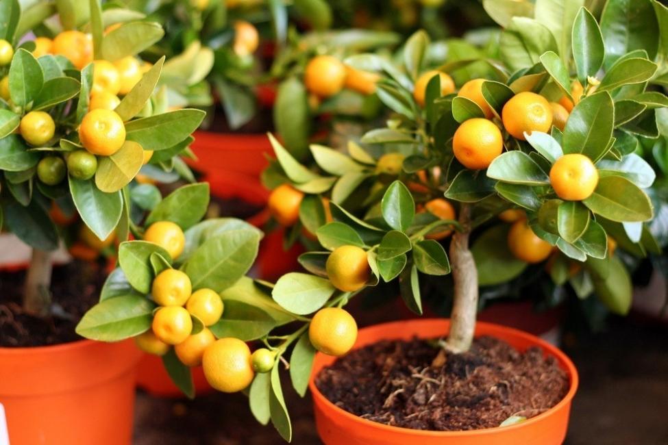 Que árboles frutales puedes cultivar en casa
