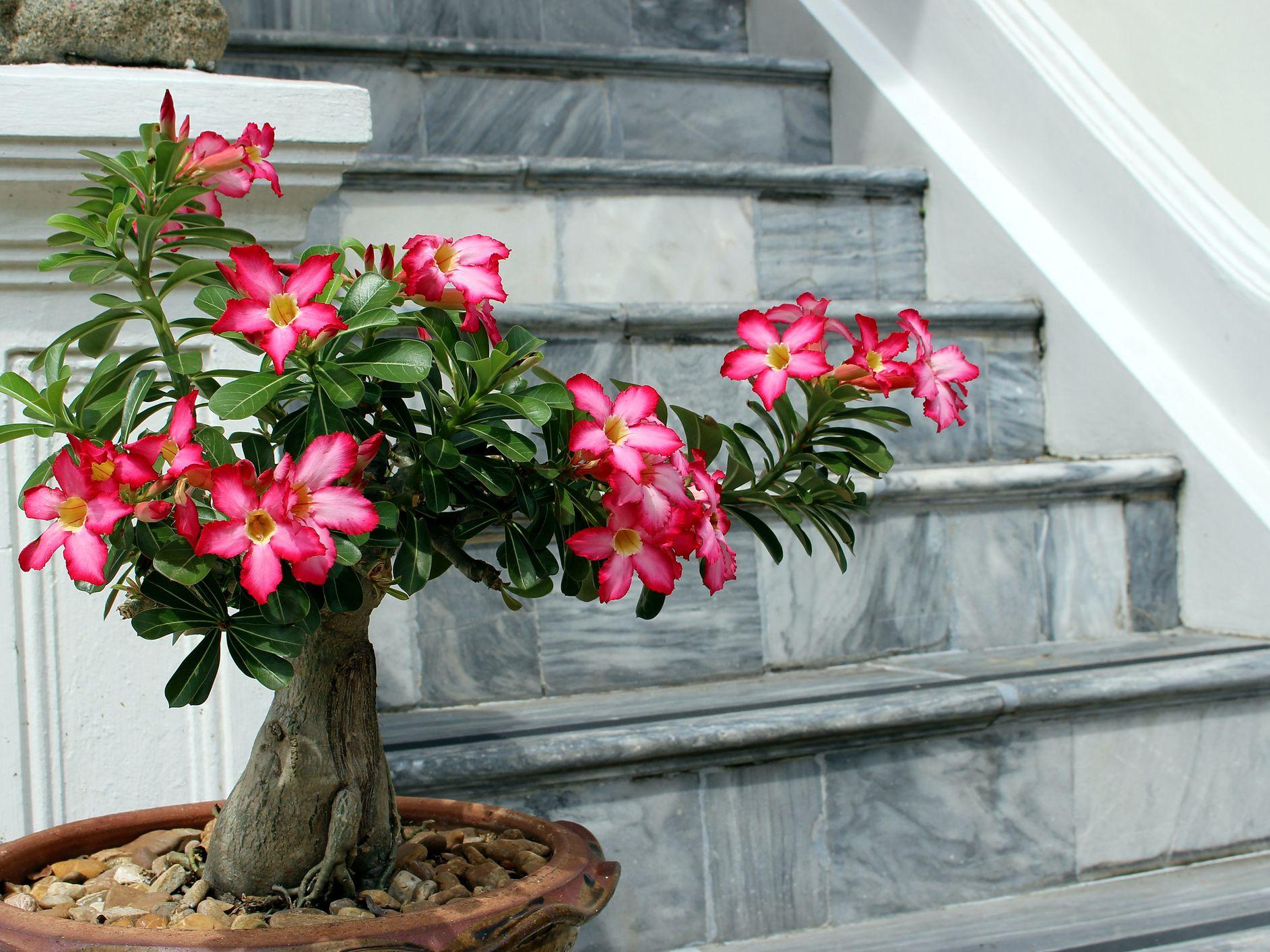 Tips para que tu flor de desierto luzca hermosa