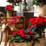 Decoración navideña con nochebuenas